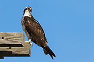 An osprey perches on the edge of a man-made nest tower, Wolf Island, Ontario, Canada.
