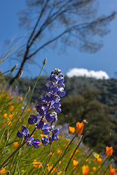 """Lupine and Poppies 1"" - These wild Lupine and California Poppy flowers were photographed near Windy Pt. along the North Fork American River."