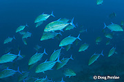 blue-fin trevally or bluefin jacks, Caranx melampygus, Daravandhoo Thila, Baa Atoll, Maldives ( Indian Ocean )