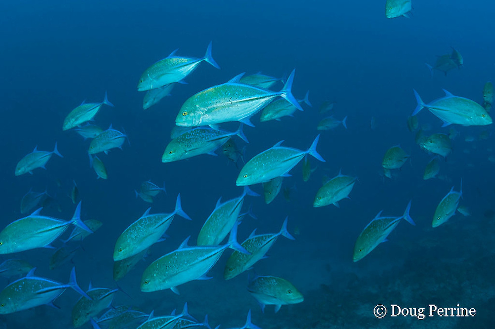 blue-fin trevally or bluefin jacks, Caranx melampygus, Daravandhoo Thila, Baa Atoll, Maldives ( Indian Ocean )