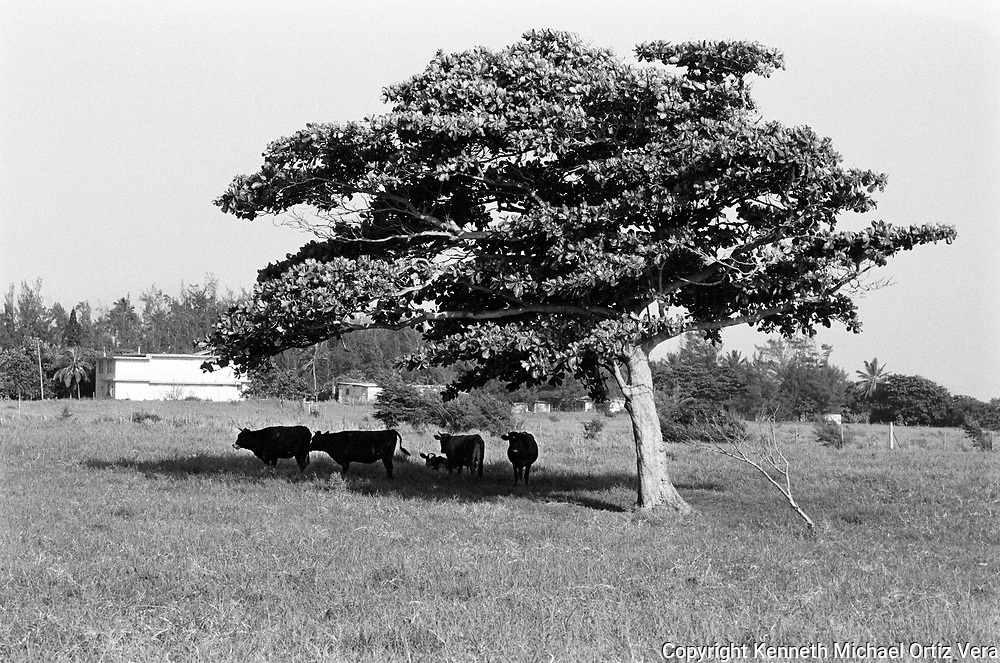 A shot of Cows under the shade of a tree.