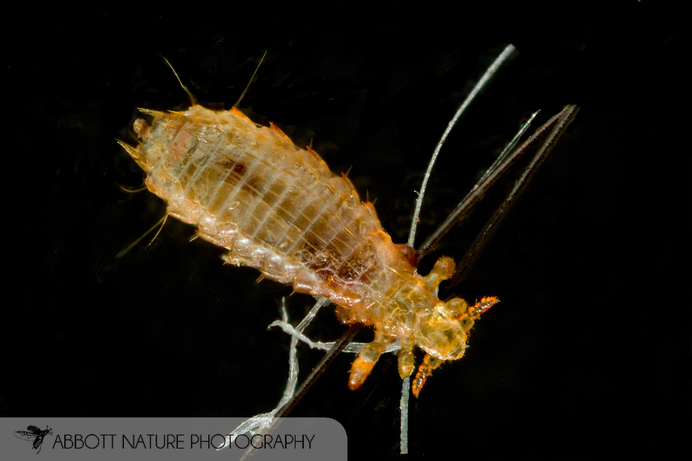 Spiny Rat Louse (Polyplax spinulosa)<br /> Taken from captive bred rat<br /> 22-March-2014<br /> J.C. Abbott &amp; K.K. Abbott