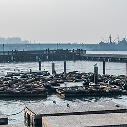 """""""Leão-marinho-da-califórnia (Zalophus californianus) fotografado em São Fransisco, nos Estados Unidos da América - EUA. Registro feito em 2018. <br /> ⠀<br /> ⠀<br /> <br /> <br /> <br /> <br /> ENGLISH: California sea lion photographed in San Fancisco, in United States of América - USA. Picture made in 2018."""""""