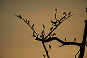 Cattle Egret (Bubulcus ibis) roosting in trees, Jardim d' Amazonia Ecolodge, Mato Grosso, Brazil