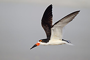 Stock photo of black skimmer captured in Florida.  This bird mostly inhabits ocean beaches and coastal waters protected from ocean surf. This bird will skim the water when feeding. It's top mandible snapping shut when it comes into contact with a fish.