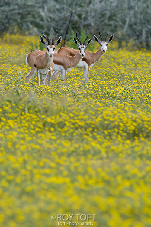 Three Springbok standing in the yellow flowers, Namibia, Africa.