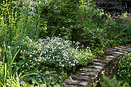 Small white flowers above a stone wall in Derry Watkin's Special Plants Garden in Cold Ashton, Chippenham, Surrey, UK