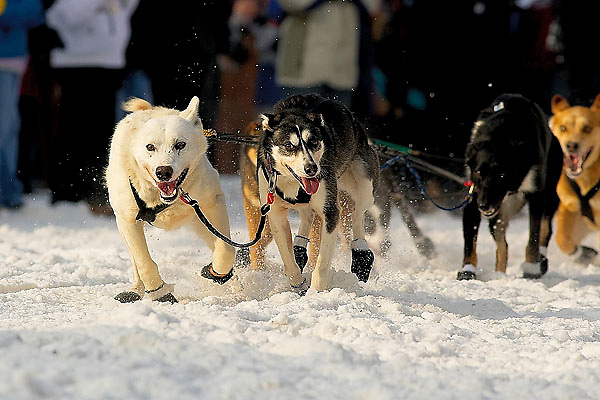 04 March 2006: Anchorage, Alaska - The lead dogs of Thomas Knolmayer head out at the Ceremonial Start in downtown Anchorage of the 2006 Iditarod Sled Dog Race
