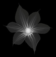 X-ray image of a Durand's clematis flower (Clematis durandii, white on black) by Jim Wehtje, specialist in x-ray art and design images.