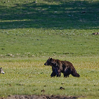 Coyote watching gray wolf interacting with a Bison and Grizzly Bear in Yellowstone National Park