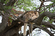A young lion peers through branches while lying in a tree with other lions in the Serengeti National Park. The park is a UNESCO World Heritage Site in Tanzania.