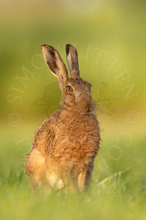 European Hare (Lepus europaeus) adult at rest in field margin, Norfolk, UK.