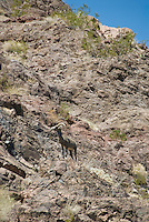 Big Horn Sheep camoflauged in The Black Canyon, Nevada.