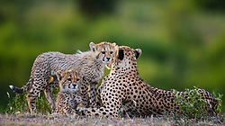 A cheetah mother and her cubs (Acinonyx jubatus) resting together in the morning,  Ndutu, Ngorongoro Conservation Area, Tanzania, Africa
