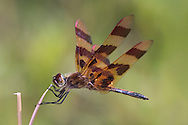 Dragonfly, Eastern Amberwing Clinging To A Stem In High Winds, Perithemis tenera