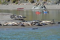 Canoeists at the estuary of Russian River near Jenner, Sonoma County, California, USA, keep their distance from a colony of seals and their pups basking on a a sandbank. 201304292122<br /> <br /> Copyright Image from Victor Patterson, 54 Dorchester Park, Belfast, UK, BT9 6RJ<br /> <br /> Tel: +44 28 9066 1296<br /> Mob: +44 7802 353836<br /> Voicemail +44 20 8816 7153<br /> Skype: victorpattersonbelfast<br /> Email: victorpatterson@me.com<br /> Email: victorpatterson@ireland.com (back-up)<br /> <br /> IMPORTANT: If you wish to use this image or any other of my images please go to www.victorpatterson.com and click on the Terms & Conditions. Then contact me by email or phone with the reference number(s) of the image(s) concerned.