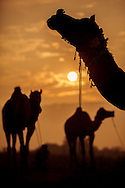 Camels at sunset at the Pushkar Camel Fair, Rajasthan, India