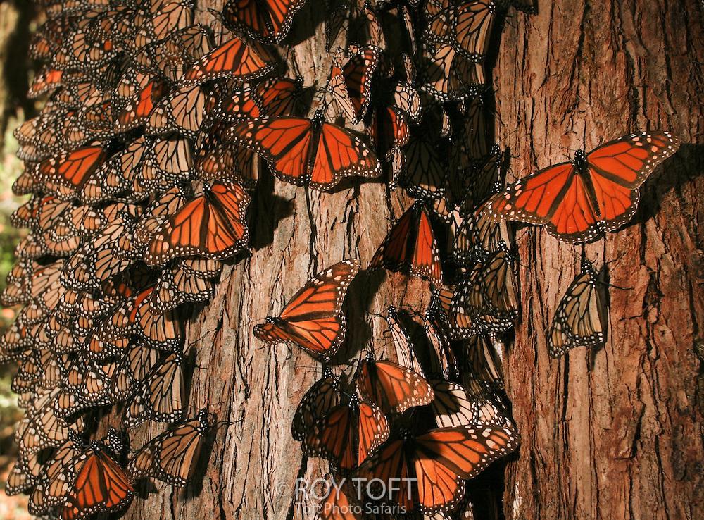 Monarch Butterflies (Danaus plexippus), Biosphere Reserve, Mexico