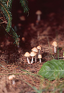 Mushrooms under Pines