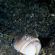 Snakefish Trachinocephalus myops at Lembeh Straits, Indonesia.