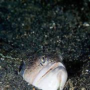 Snakefish Trachinocephalus myops at Lembeh Straits, Indonesia.