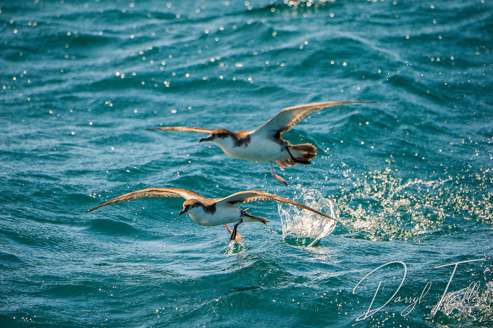 Two Buller's shearwaters (Puffinus bulleri Salvin)  taking off in the Hauraki Gulf. New Zealand.