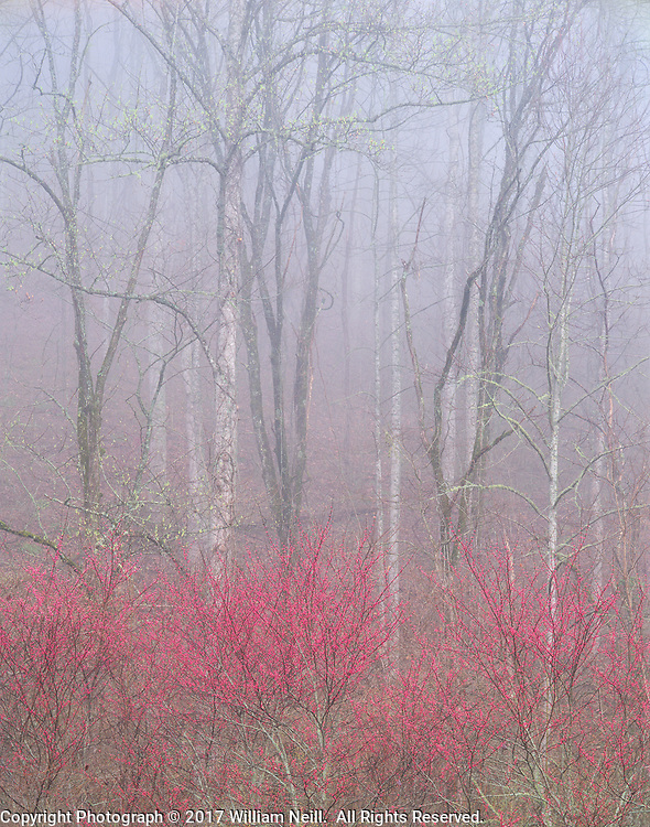 Redbud in fog, Great Smoky Mountains National Park, North Carolina  1991
