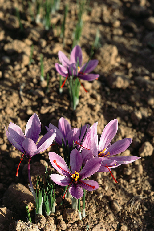 Saffron crocus flowers growing in Consuegra, La Mancha, Spain. Saffron has been the world's most expensive spice by weight for decades. The flower has three stigmas, which are the distal ends of the plant's carpels. These are separated from the petals by hand and dried to make saffron spice.