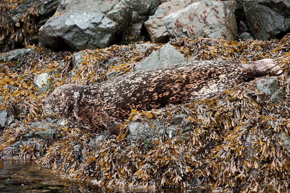 A Harbor Seal, Phoca vitulina, rests on the shoreline of Quadra Island, British Columbia, Canada.