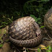 Sunda pangolin (Manis javanica) in Thailand