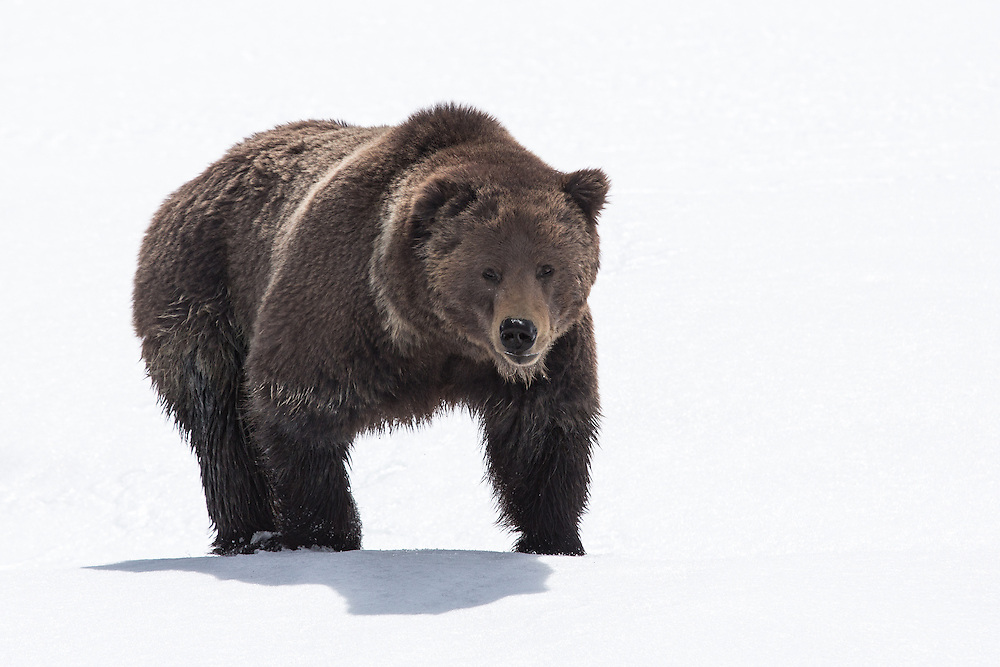 A dominant grizzly boar follows the scent of a female along a lengthy snowfield. During the spring mating season, boars often travel hundreds of miles in search of a mate.