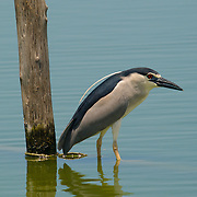 Black Crowned Night Heron, Nycticorax nycticorax