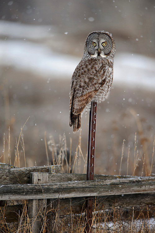 Great Gray Owl (Strix nebulosa) in snowfall, Western Montana