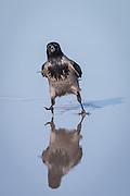 This crow were walking on a wet sandy beach   Dene kråken gikk på en våt sandstrand.