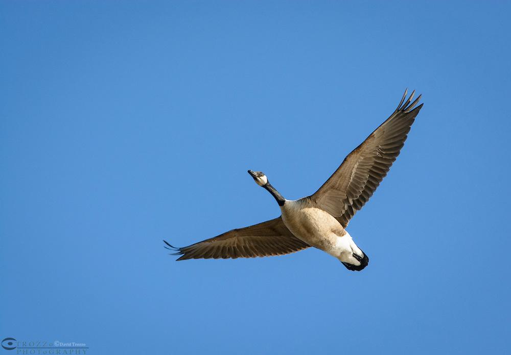 Canada Goose Branta canadensis in flight near Cambridge Maryland USA.