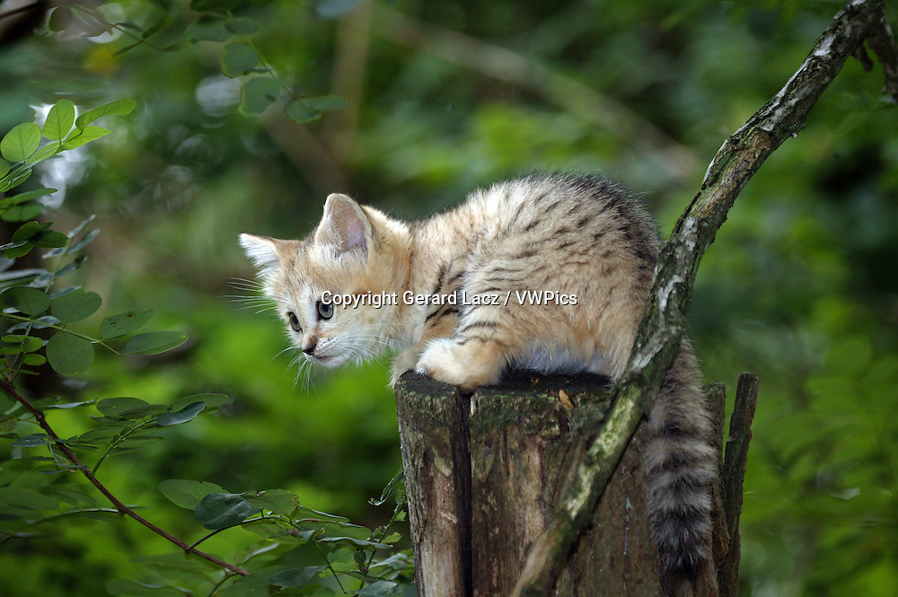 SAND CAT felis margarita, CUB STANDING ON BRANCH