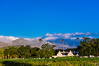 Vineyards, Allee Bleue Wine Estate, Groot Drakenstein, Cape Winelands (near Cape Town), South Africa.