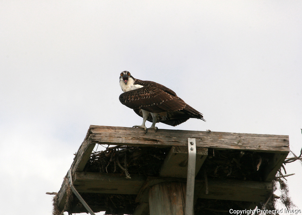 Osprey, angry at photographer for disturbing it on it's nest platform on Jekyll Island.