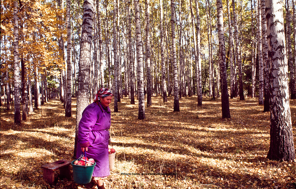 An elderly vendor carries her pail  full of Aport apples through a birch grove to sell by a roadside.  Aports come from orchards the Talgar district outside Almaty where trees that carry the genes of the first apples are still cultuvated.