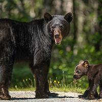 A female American black bear (Ursus americanus) and her young cub in Nova Scotia, Canada. July 2018.