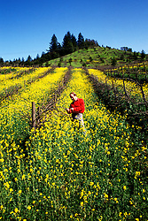 California: Sonoma-Mendocino Region.  Vineyard in spring mustard along the Russian River..Photo copyright Lee Foster, 510/549-2202, lee@fostertravel.com, www.fostertravel.com..Photo #: casono105