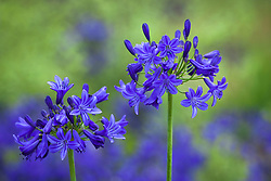 Agapanthus 'Sandringham'. African lily