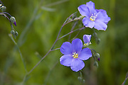 Western Blue Flax grows wild in North Idaho. Linum perenne. PLEASE CONTACT US FOR DIGITAL DOWNLOAD AND PRICING.