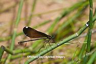 06014-003.05 Ebony Jewelwing Damselfly (Calopteryx maculata) female in stream, MO