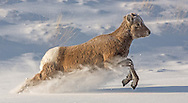 Separated from the herd, a bighorn lamb dashes through the snow to rejoin his playmates. Young lambs are extremely playful and will run and jump about for hours on end.  All this activity prepares them for escaping predators when they reach adulthood.
