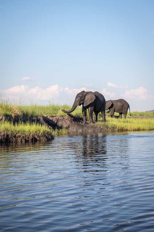 Two elephants walk along the bank of the Chobe River. Chobe National Park - Botswana