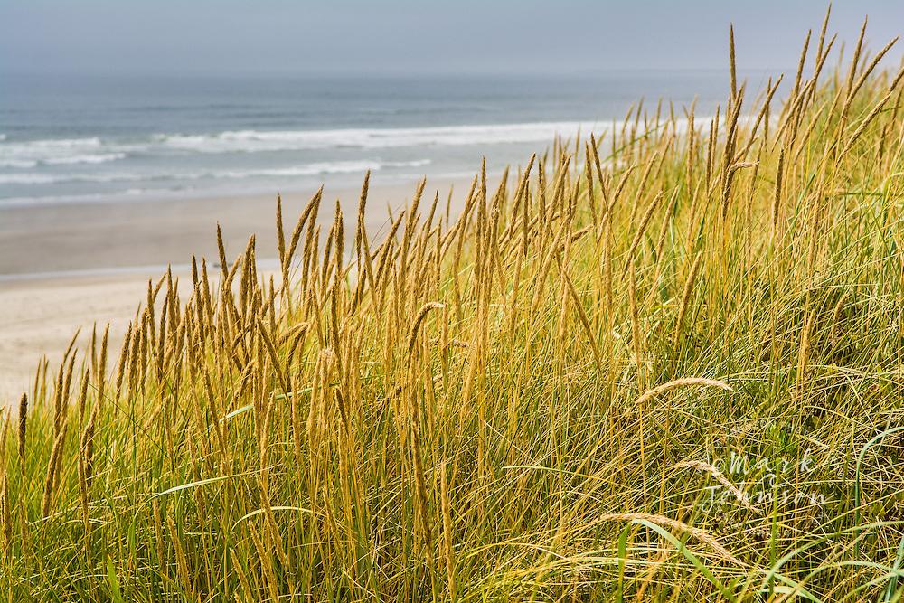 Grasses growing on sand dunes along the Pacific Northwest shoreline near Astoria, Oregon, USA