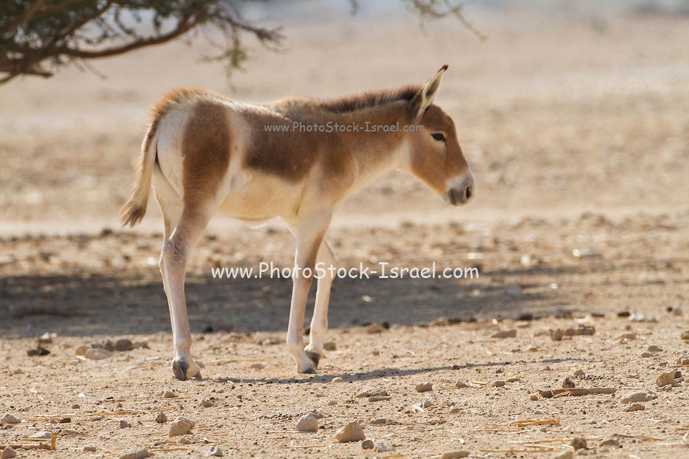 Onager (Equus hemionus). Part of a breeding nucleus of Wild Asian Asses at a reacclimation centre Yotvata Hai-Bar Nature Reserve, Israel