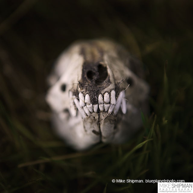 young coyote skull in grass, showing front teeth, shallow depth of field