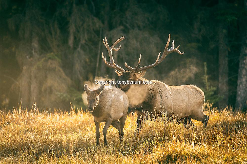 bull elk steaming chasing cow elk backlit